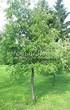 Посадка крупномеров Черемухи виргинской (Prunus virginiana (Padus virginiana)) - 201