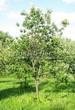 Посадка крупномеров Черемухи виргинской (Prunus virginiana (Padus virginiana)) - 202