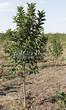 Посадка крупномеров Черемухи виргинской (Prunus virginiana (Padus virginiana)) - 205