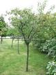 Посадка крупномеров Черемухи виргинской (Prunus virginiana (Padus virginiana)) - 206