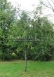 Посадка крупномеров Черемухи виргинской (Prunus virginiana (Padus virginiana)) - 207