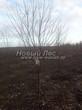 Посадка крупномеров Черемухи виргинской (Prunus virginiana (Padus virginiana)) - 209