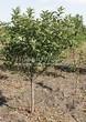 Посадка крупномеров Черемухи виргинской (Prunus virginiana (Padus virginiana)) - 210