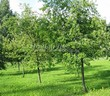 Посадка крупномеров Черемухи виргинской (Prunus virginiana (Padus virginiana)) - 211