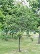 Посадка крупномеров Черемухи поздней (Prunus serotina) - 201