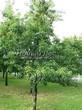 Посадка крупномеров Черемухи поздней (Prunus serotina) - 202