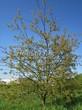 Посадка крупномеров Черемухи поздней (Prunus serotina) - 203