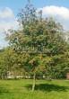 Посадка крупномеров Рябины обыкновенной (Sorbus aucuparia) - 201