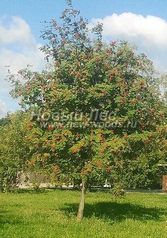Рябина обыкновенная: посадка крупномеров лиственных деревьев