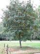 Посадка крупномеров Рябины обыкновенной (Sorbus aucuparia) - 202