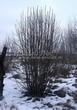Посадка крупномеров Рябины обыкновенной (Sorbus aucuparia) - 203