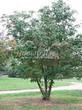 Посадка крупномеров Рябины обыкновенной (Sorbus aucuparia) - 204