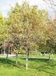 Посадка крупномеров Рябины обыкновенной (Sorbus aucuparia) - 205