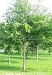 Посадка крупномеров Рябины обыкновенной (Sorbus aucuparia) - 206