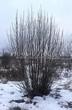 Посадка крупномеров Рябины обыкновенной (Sorbus aucuparia) - 207