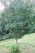 Посадка крупномеров Рябины обыкновенной (Sorbus aucuparia) - 208