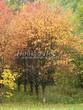 Посадка крупномеров Рябины обыкновенной (Sorbus aucuparia) - 209