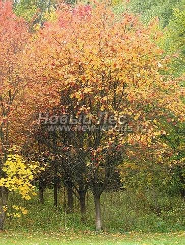 Посадка лиственных крупномеров Рябины обыкновенной