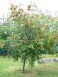 Посадка крупномеров Рябины обыкновенной (Sorbus aucuparia) - 210