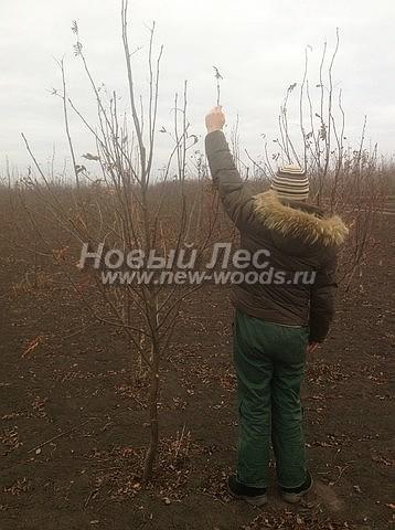 Посадка крупномеров лиственных деревьев Рябины обыкновенной