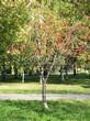 Посадка крупномеров Рябины обыкновенной (Sorbus aucuparia) - 213