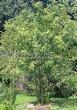Посадка крупномеров Рябины обыкновенной (Sorbus aucuparia) - 214