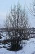 Посадка крупномеров Рябины обыкновенной (Sorbus aucuparia) - 215