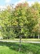 Посадка крупномеров Рябины обыкновенной (Sorbus aucuparia) - 216