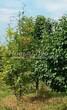 Посадка крупномеров Рябины обыкновенной (Sorbus aucuparia) - 217