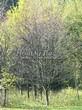 Посадка крупномеров Рябины обыкновенной (Sorbus aucuparia) - 218