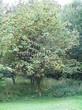 Посадка крупномеров Рябины обыкновенной (Sorbus aucuparia) - 219