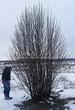 Посадка крупномеров Рябины обыкновенной (Sorbus aucuparia) - 220