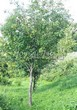 Посадка крупномеров Рябины обыкновенной (Sorbus aucuparia) - 221