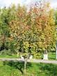 Посадка крупномеров Рябины обыкновенной (Sorbus aucuparia) - 222