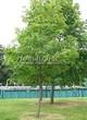 Посадка крупномеров Рябины обыкновенной (Sorbus aucuparia) - 224