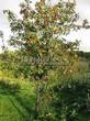 Посадка крупномеров Рябины промежуточной (Sorbus intermedia) - 201