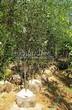 Посадка крупномеров Рябины промежуточной (Sorbus intermedia) - 202