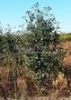 Посадка крупномеров Рябины промежуточной (Sorbus intermedia) - 203