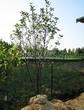 Посадка крупномеров Рябины промежуточной (Sorbus intermedia) - 204