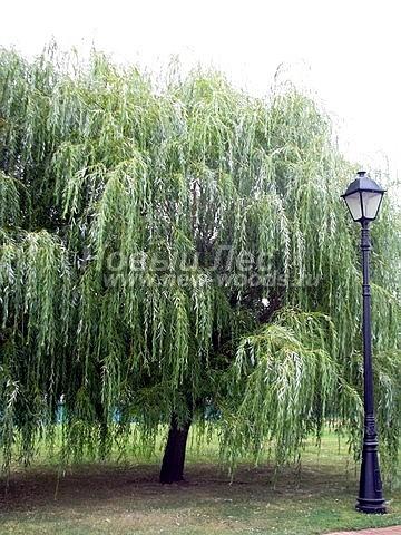 Ива белая Тристис: посадка крупномеров лиственных деревьев