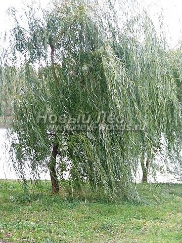 Посадка крупномеров лиственных деревьев Ивы белой Тристис