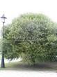 Посадка крупномеров Ивы ломкой (Salix x fragilis) - 201