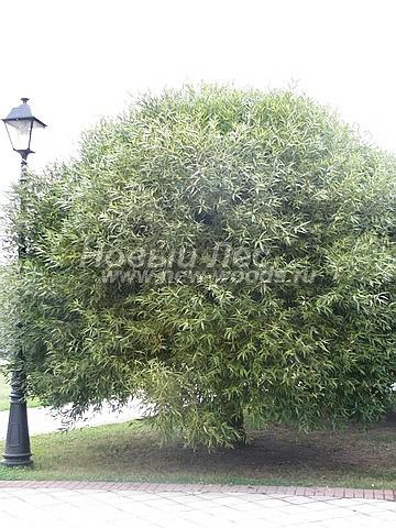 Ива ломкая: посадка крупномеров лиственных деревьев