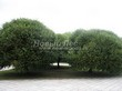 Посадка крупномеров Ивы ломкой (Salix x fragilis) - 202