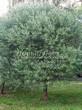 Посадка крупномеров Ивы ломкой (Salix x fragilis) - 203