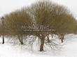 Посадка крупномеров Ивы ломкой (Salix x fragilis) - 204