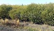 Посадка крупномеров Ивы ломкой (Salix x fragilis) - 205