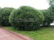 Посадка крупномеров Ивы ломкой (Salix x fragilis) - 206