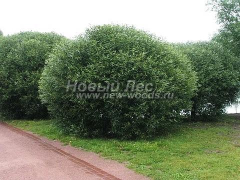 Посадка крупномеров лиственных деревьев Ивы ломкой