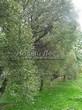 Посадка крупномеров Ивы ломкой (Salix x fragilis) - 207